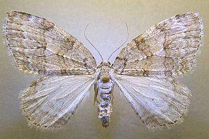 Autumnal moth - Image: Epirrita autumnata