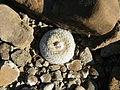 Epithelantha micromeris (5657545655).jpg
