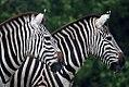 Equus quagga boehmi 11zz.jpg
