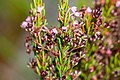 Erica rubiginosa.jpg