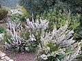 Erica scabriuscula Loddiges 1821 Kirstenbosch (1).jpg