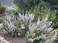 Erica scabriuscula Loddiges 1821 Kirstenbosch (1) .jpg