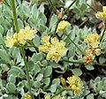 Eriogonum ovalifolium ovalifolium 2.jpg