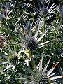 Eryngium bourgatii 2007-06-02 (flower).jpg