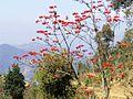 Erythrina stricta Nepal.JPG