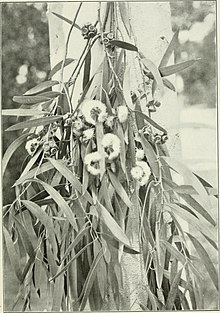 "Eucalyptus amygdalina from ""Eucalypts cultivated in the United States""; (1902) (20165942804).jpg"