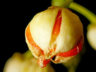Euonymus fortunei - Image: Euonymus Fortunei Fruit