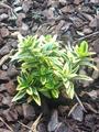 Euonymus japonicus Aureomarginatus small (closer).png
