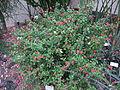 EuphorbiaMiliiVarSplendens.jpg