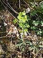 Euphorbia amygdaloides RHu 001.JPG