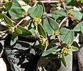 Euphorbia fendleri 4.jpg