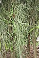 Euphorbia tirucalli 20zz.jpg
