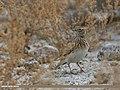 Eurasian Skylark (Alauda arvensis) (33029032452).jpg