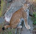Eurasian lynx (14988767536).jpg