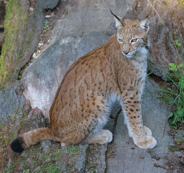 File:Eurasian lynx (14988767536).jpg