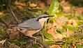 Eurasian nuthatch (Sitta europaea caesia) perched on a stick.jpg