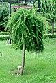 European larch - Larix decidua.jpg