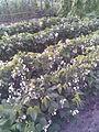 Fabales - Phaseolus vulgaris 1 - 2011.07.11.jpg
