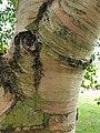 Fagales - Betula pubescens - 4.jpg