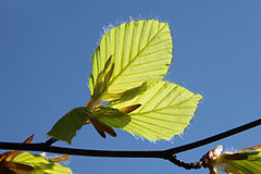 240px fagus sylvatica leaves bottom