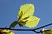 Fagus sylvatica leaves bottom.jpg