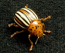 False potato beetle (Leptinotarsa juncta).jpg
