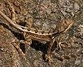 Fan-throated Lizard (Sitana ponticeriana) W2 IMG 7530.jpg