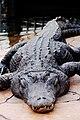 Fat Gator.jpg