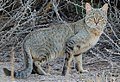 Felis silvestris cafra.jpg