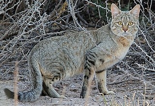 Southern African wildcat subspecies of mammal