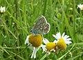 Female Common Blue Butterfly - geograph.org.uk - 2007887.jpg