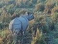 Female one-horned Rhinoceros.jpg