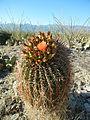 Ferocactus wislizeni (6541002109).jpg