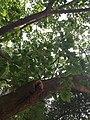 Ficus Superba Var. Japonica.jpg