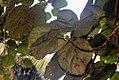 Ficus auriculata 11zz.jpg