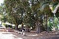 Ficus benghalensis44.jpg
