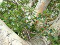 Ficus glumosa, loof en vrugte, c, Tuks.jpg