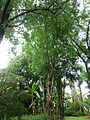 Ficus religiosa, habitus, a, Manie van der Schijff BT.jpg