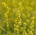 Fields Of Mustard (206617129).jpeg