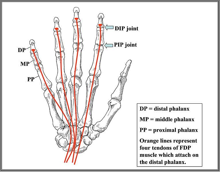 Pinky finger anatomy