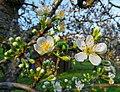 Fiori di Prugno in marzo (Prunus domestica).jpg