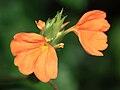 Firecracker Flower (Crossandra infundibuliformis).jpg