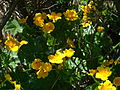 Fleurs sur le Vitocha 4.JPG