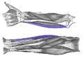 Flexor-carpi-ulnaris-horizontal.png