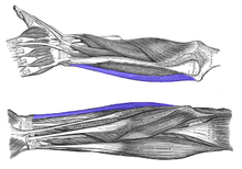 Flexor-carpi-ulnaris-horizontal.png