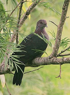 Flickr - Rainbirder - Sri Lanka Wood Pigeon (Columba torringtoni).jpg