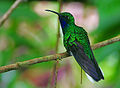 Flickr - Rainbirder - White-tailed Sabrewing (Campylopterus ensipennis).jpg