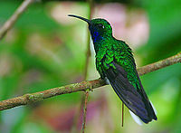 Flickr - Rainbirder - White-tailed Sabrewing (Campylopterus ensipennis)