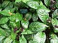 Flickr - brewbooks - Tacca chantrieri - Bat plant.jpg