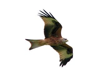 Red kite, Watlington Hill, Oxfordshire.